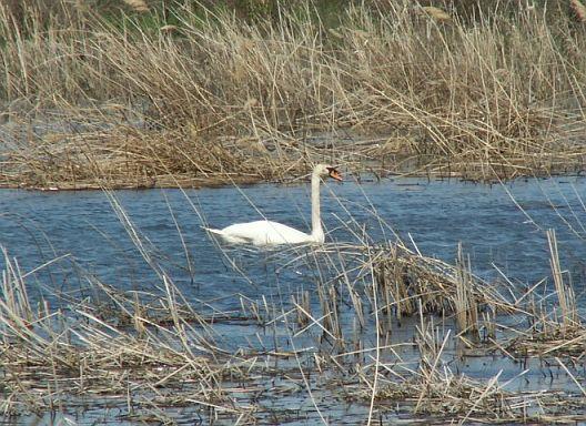 Лебедь. Фото Ю. Беляченко. Национальный парк «Хвалынский»