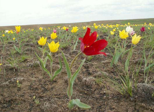 Тюльпан Шренка на Ивановом поле. Фото Ю. Беляченко. Национальный парк «Хвалынский»